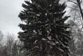 Главную новогоднюю елку России привезут из Истринского района