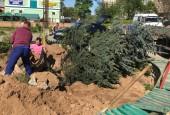 На территории Воскресенской площади в городе Истра появилась голубая ель высотой более 6 метров