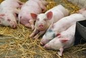 Африканская чума свиней. Памятка населению.
